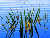 Carex de lac Photographie stock libre de droits