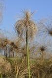 Carex de papyrus Photographie stock