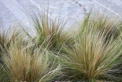 Carex dekorativt gräs royaltyfri foto