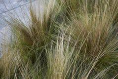 Carex dekorativt gräs royaltyfri fotografi