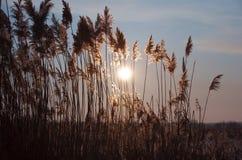 Carex et beau ciel Photographie stock libre de droits