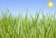 Carex et soleil Photographie stock libre de droits
