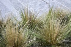 Carex, ornamental grass. Carex, green and gold ornamental grass in a flowerbed Royalty Free Stock Photo