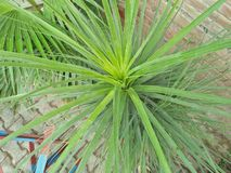 CAREX& x28; CAREX PENDULA FRISCHES LOOK& x29; Stockbilder