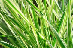 Carex plant (nature background) Stock Images