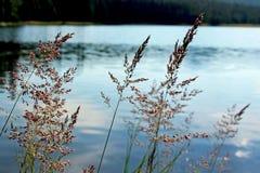 Carex, prés de Tuolumne, parc national de Yosemite image libre de droits