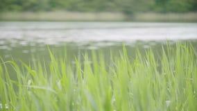 Carex, roseaux verts et herbe balançant dans le vent banque de vidéos
