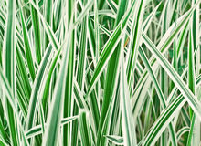 The Carex variegata Royalty Free Stock Image