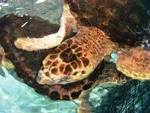Carey sköldpaddor på den venezuelanska kusten arkivfoton
