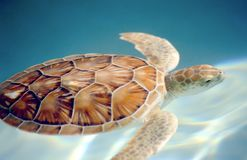 Carey turtle motion blur swuimming underwater Stock Image