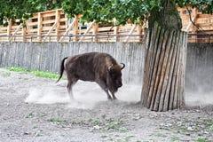 Carga enojada del bisonte Fotos de archivo