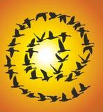 Cargo de sinal de gansos do voo no por do sol Imagem de Stock