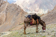 Cargo donkey in mountain area Royalty Free Stock Image