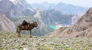 Cargo donkey in mountain area Royalty Free Stock Photo