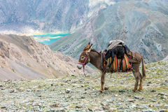 Cargo donkey in mountain area Stock Images