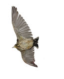 Cargo eagle. Bird with open wings, the bottom view, the Meadow pipit Royalty Free Stock Images