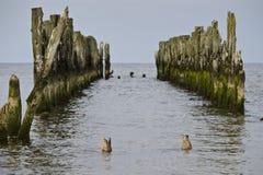 Cargos velhos do quebra-mar com um par patos do pato selvagem que nadam imagens de stock royalty free