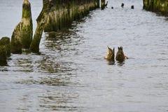 Cargos velhos do quebra-mar com um par patos do pato selvagem que nadam imagem de stock