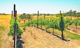 Carhartt Wineery: Grapes and Fertile Fields. Located in the warm and dry Santa Ynez Valley, the Carhartt family winery grows most of its own grapes in vineyards stock photo