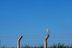Cariama cristata Vogel Lizenzfreies Stockbild