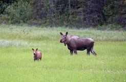 Caribù del alaskan del bambino e della madre Immagine Stock