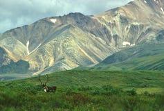 Caribù del Bull in montagna scenica fotografia stock