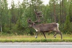 Caribù sulla via in finlandia Fotografia Stock