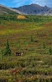 Caribú en la tundra Imagen de archivo libre de regalías