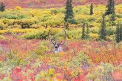 Caribú en otoño en el parque nacional de Denali en Alask Fotos de archivo libres de regalías