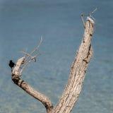 Carib Grackle (Quiscalus lugubris lugubris) Stock Photo