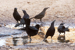 Carib Grackle. The Carib grackle Quiscalus lugubris is a New World tropical blackbird, a resident breeder in the Lesser Antilles and northern South America east Stock Image