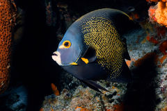 Caribbe Beauty. French Angelfish royalty free stock photography
