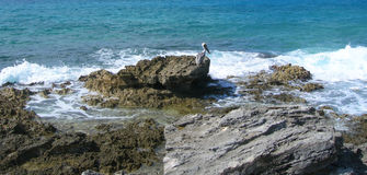 Caribbean beach background with pelican Stock Images