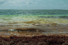 Caribbean beach is flooded with sargasso seaweed Royalty Free Stock Photos