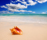 Caribbean beach and large mussel . Stock Image