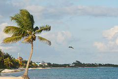 Caribbean beach with palm and flying pelican. Mexico. Royalty Free Stock Photography