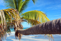 Caribbean beach palm tree Royalty Free Stock Photo