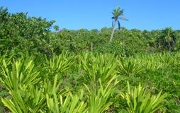 Caribbean beach at the Riviera Maya, Cancun, Mexico. Caribbean beach with tropical vegetation, palm trees and lush green foliage at a resort in Riviera Maya stock image