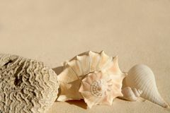 Caribbean beach sand sea shells and brain cor Royalty Free Stock Images