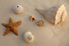 Caribbean beach sand with sea shells and starfish. Texture Royalty Free Stock Photos