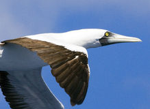 Caribbean Booby gull in flight Stock Images