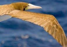 Caribbean Booby gull flying Royalty Free Stock Photo
