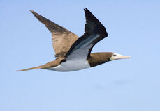 Caribbean Booby gull flying high royalty free stock image