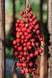 Caribbean Bunch of Red Fruits. A bunch of tropical red small fruits are hanging of its palm tree stock photos