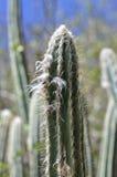 Caribbean cactus Royalty Free Stock Image