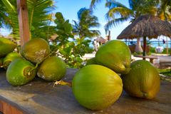 Caribbean coconut fruits in Riviera Maya. Caribbean coconut fruits in Mayan Riviera of Mexico Stock Photos