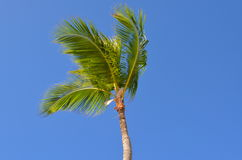 Caribbean coconut. A caribbean coconut palm tree waving on a blue sky Royalty Free Stock Photography