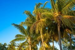 Caribbean coconut palm trees Holbox island Royalty Free Stock Image