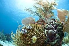 Caribbean coral gardens. Coral reefs off the coast of Roatan Honduras Stock Images