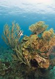 Caribbean coral reef - butterflyfish Stock Image